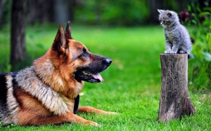 dOG Shepherd-And-Kitten